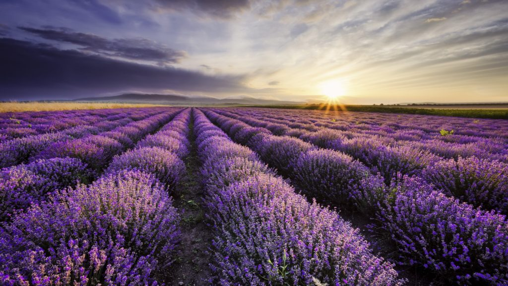 Sunrise and dramatic clouds over lavender field, Bulgaria