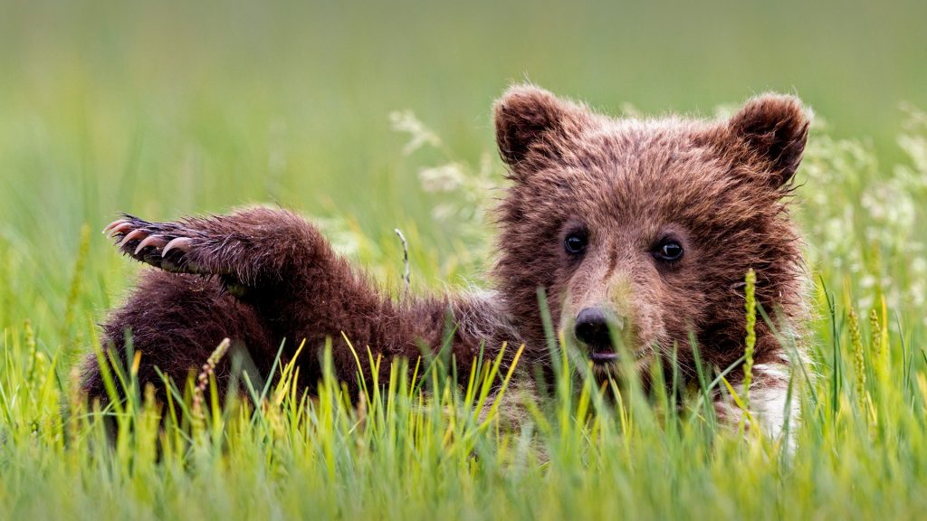 Brown bear cub (Ursus arctos) lying on meadow, Lake Clark National Park and Preserve, Alaska, USA