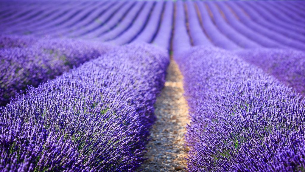 Lavender field at sunset, Provence-Alpes-Côte d'Azur, France