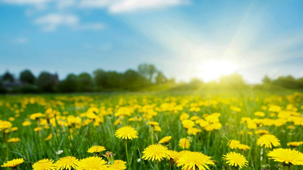 Spring field with dandelions on bright sunny day