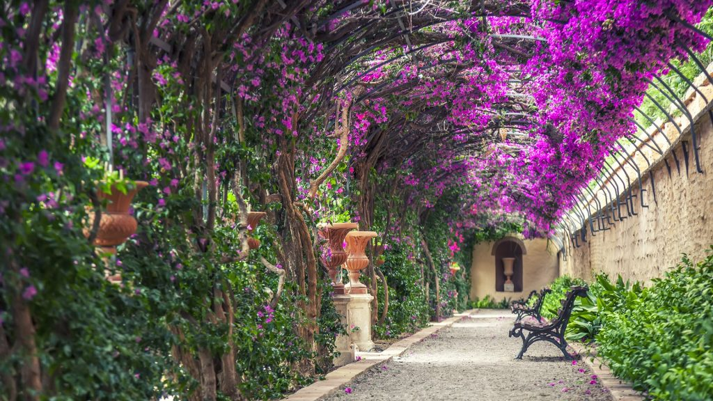 Empty benches shaded by pergola filled with purple buganvillas (Bougainvillea glabra) on Monforte Gardens, Valencia, Spain