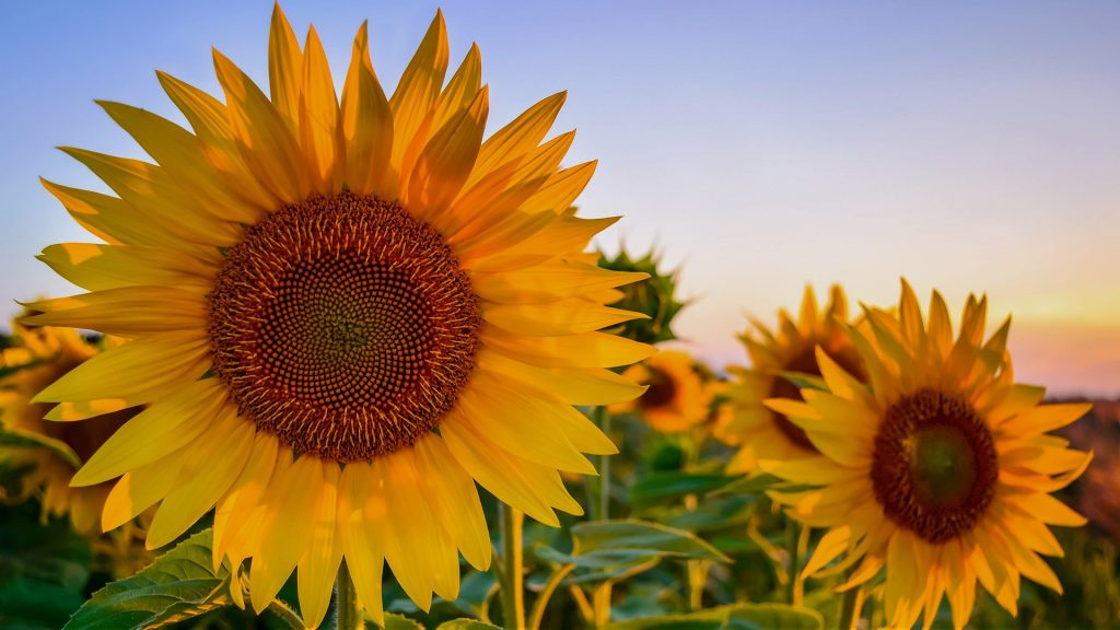 Sunflower at sunset, Croatia