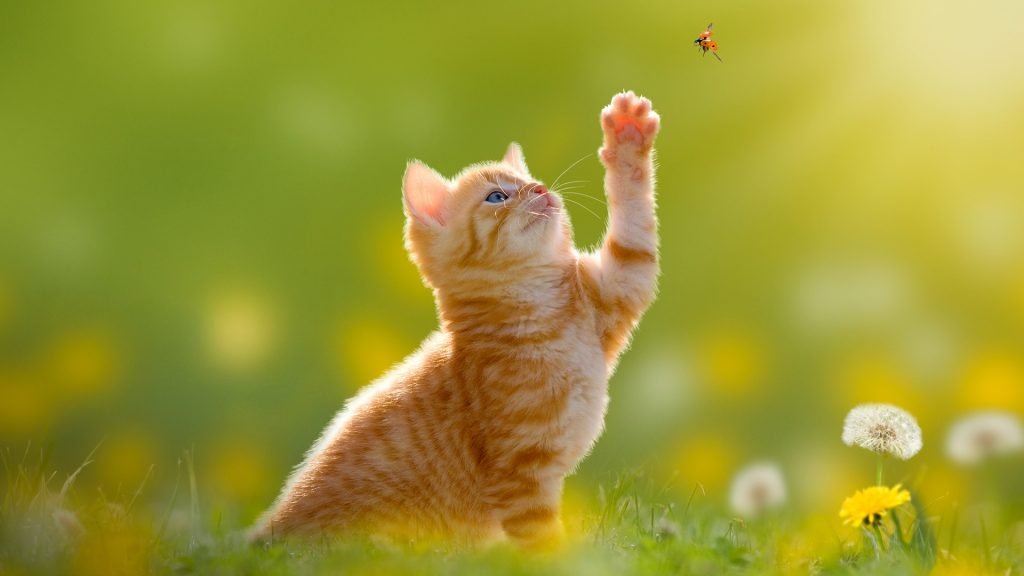 Kitten hunting a ladybug with back light