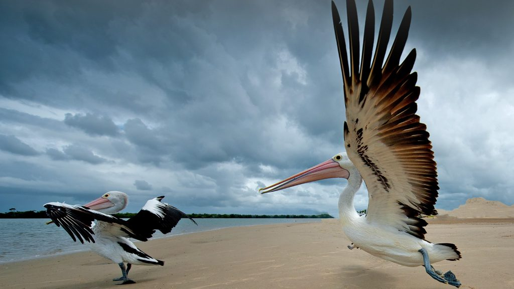 Pelican take off, a pair of pelicans on a beach, Australia