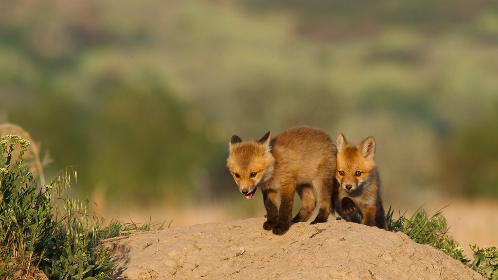Kit red foxes playing out side of the den, Utah, USA