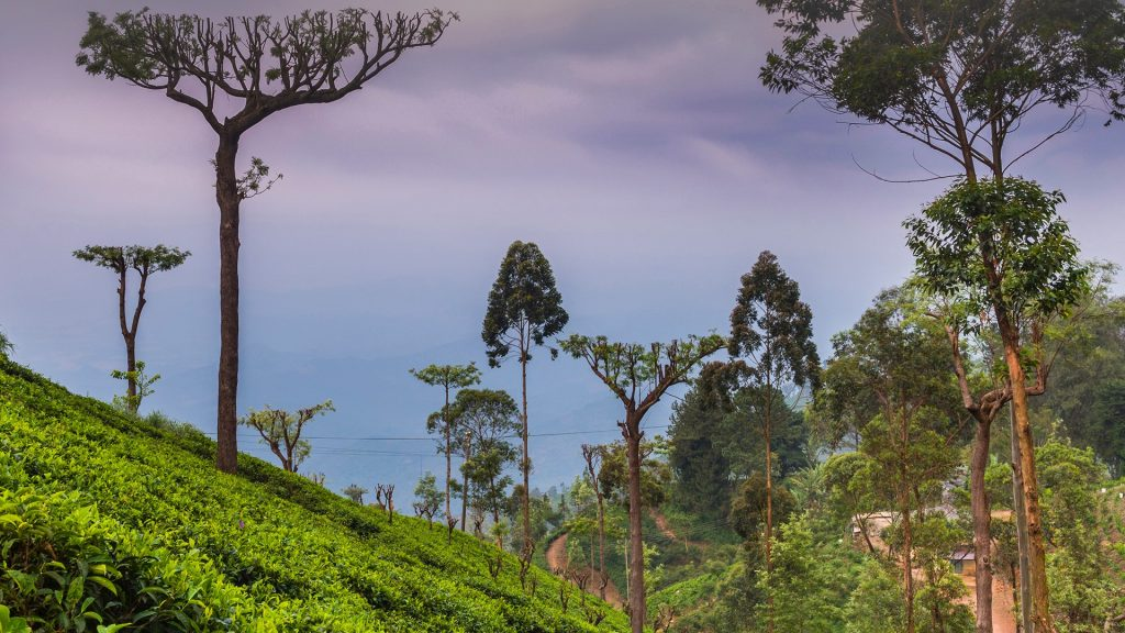 Tea plantation estate in Haputale, Nuwara Eliya District, Sri Lanka