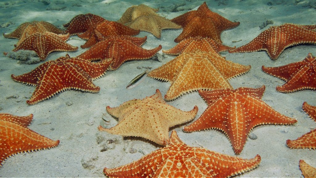 Red cushion sea stars on sandy ocean floor, Dominican Republic