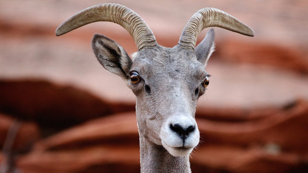 Desert bighorn sheep (Ovis canadensis nelsoni) at Zion National Park, Utah, USA