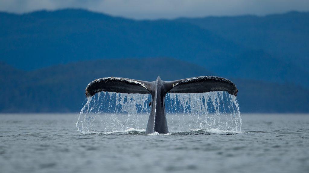 Diving Humpback Whale (Megaptera novaengliae), Alexander Archipelago, Alaska, USA