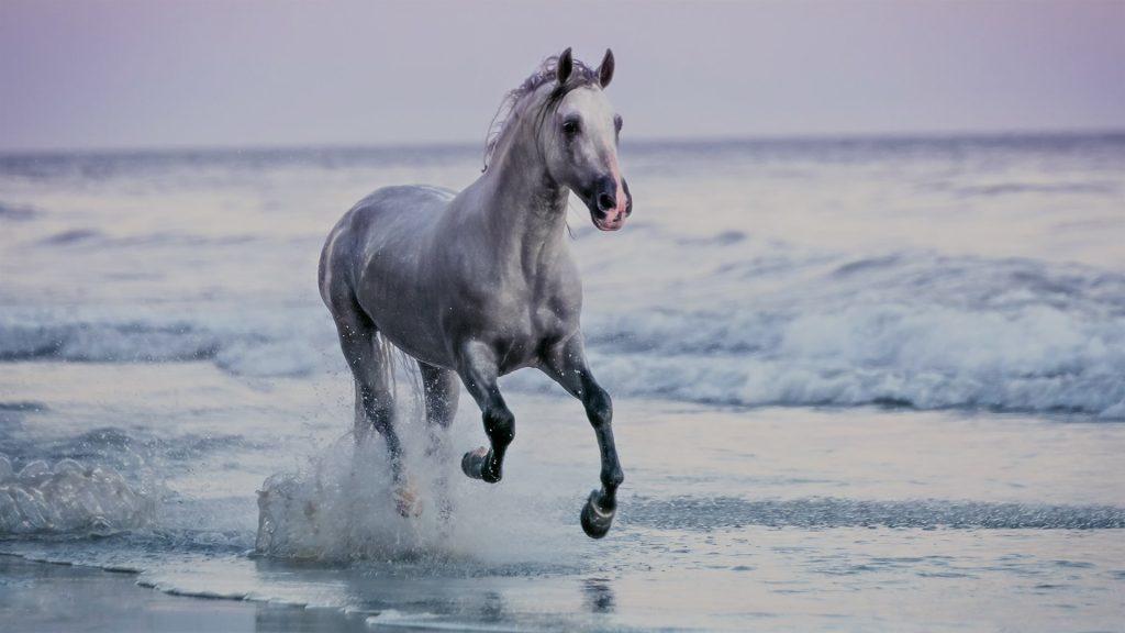 Horse running at sunset, Santa Barbara Beach, California, USA