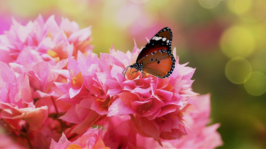 Plain Tiger or African Queen butterfly (Danaus chrysippus) on pink bougainvillea flowers