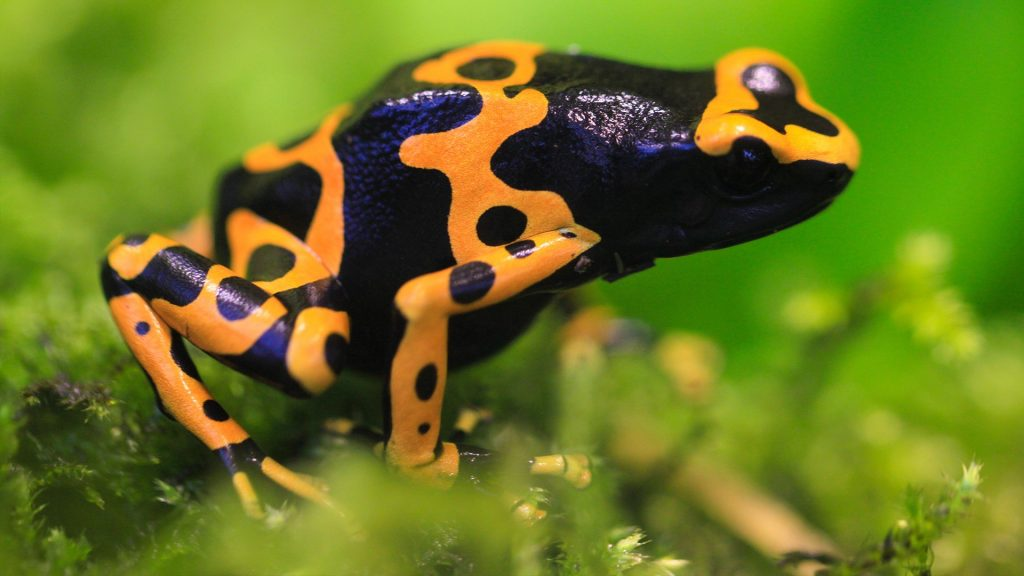 Bumblebee yellow-banded poison dart frog (Dendrobates leucomelas)
