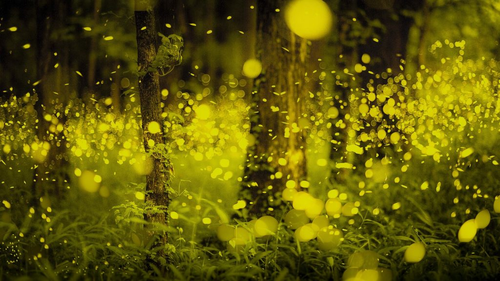 Fireflies in the Japanese forest, Okayama, Japan