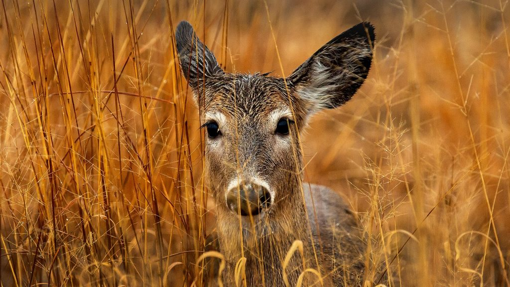 White-tailed deer, Lake Erie Metro Park, Rockwood, Michigan, USA