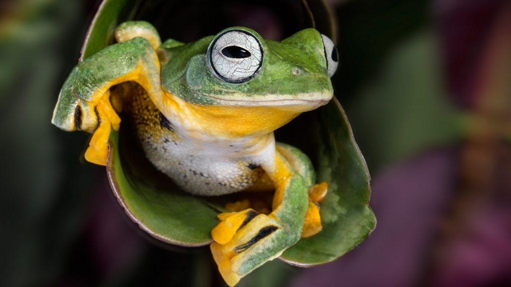 Wallace's flying tree frog (Rhacophorus nigropalmatus), Malaysia