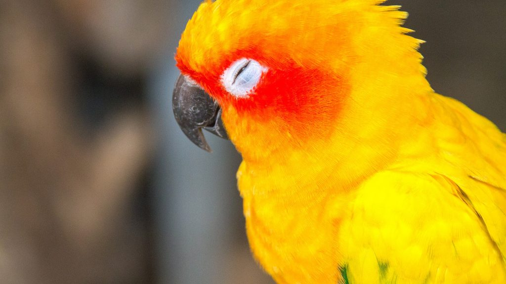 Sleeping sun parakeet or sun conure (Aratinga solstitialis)
