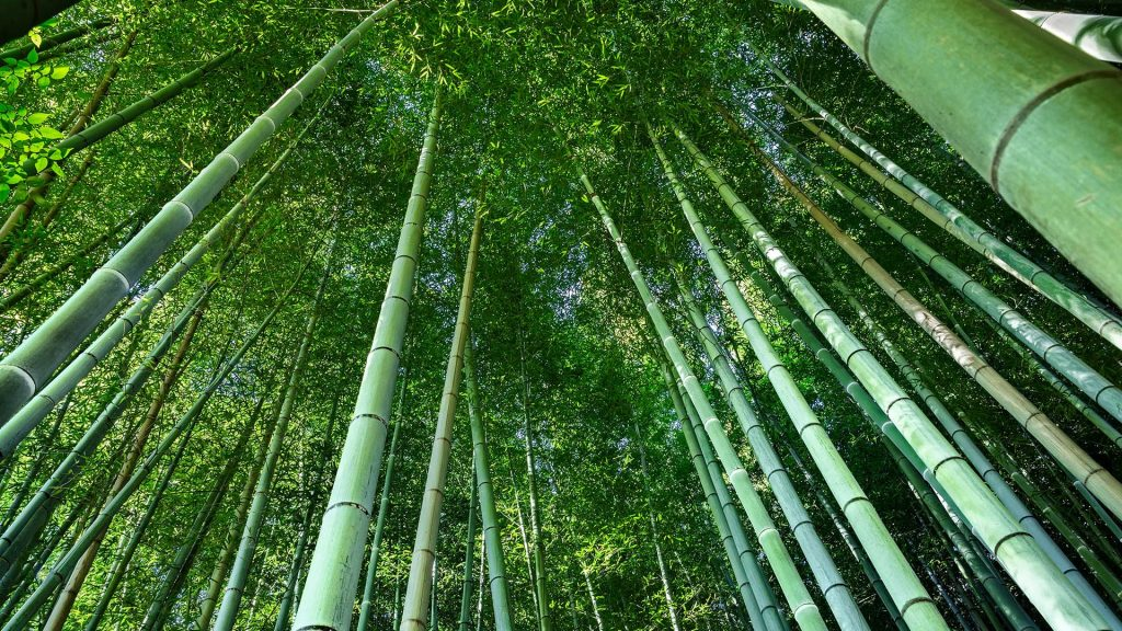 Low angle view of bamboo in forest, Kyoto, Japan