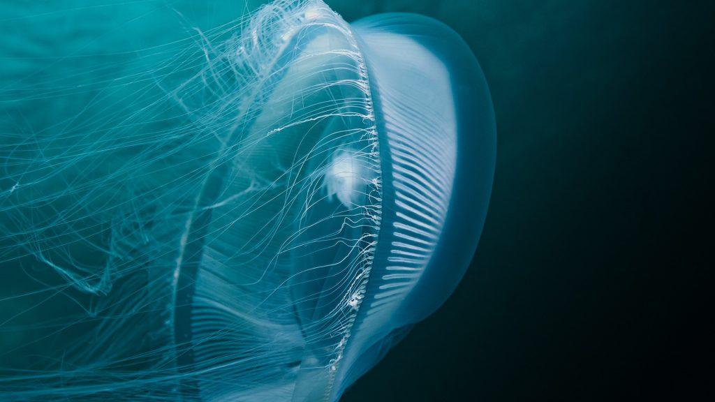 Moon jellyfish glow, Queen Charlotte Strait, British Columbia, Canada