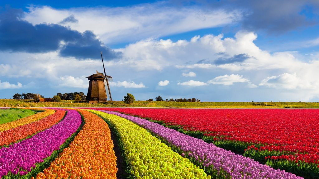 Colorful curved tulip fields in front of a traditional Dutch windmill under a nice cloudy sky, Netherlands