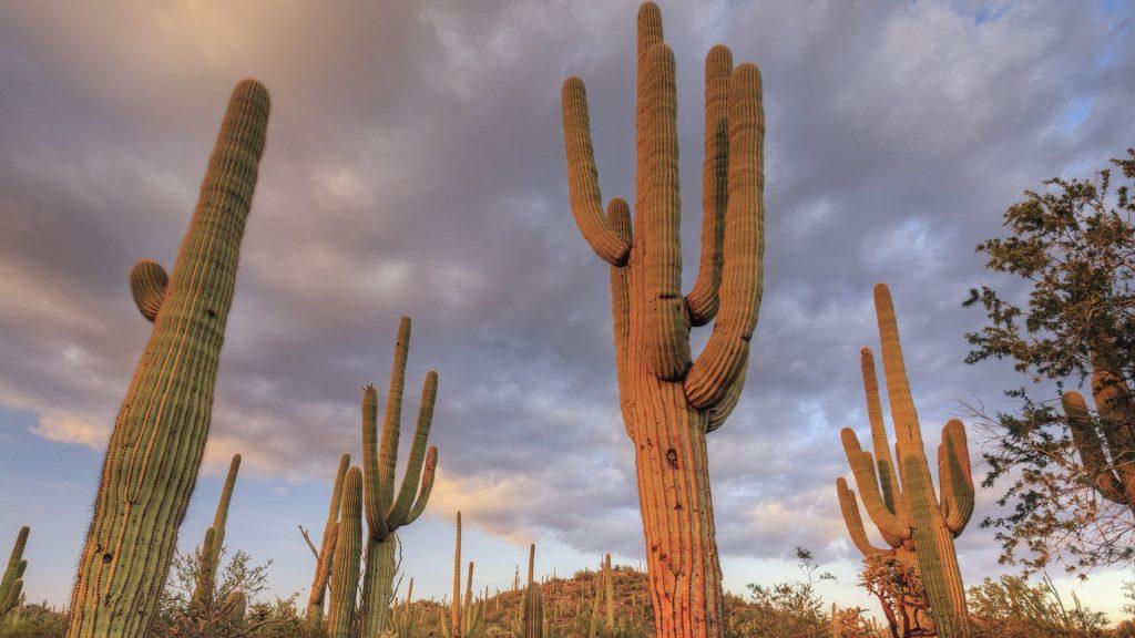 Saguaro giant Cacti (Carnegiea gigantea), Saguaro National Park, Tucson, Arizona, USA