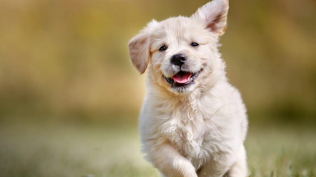 Playful golden retriever puppy outdoors on a sunny day