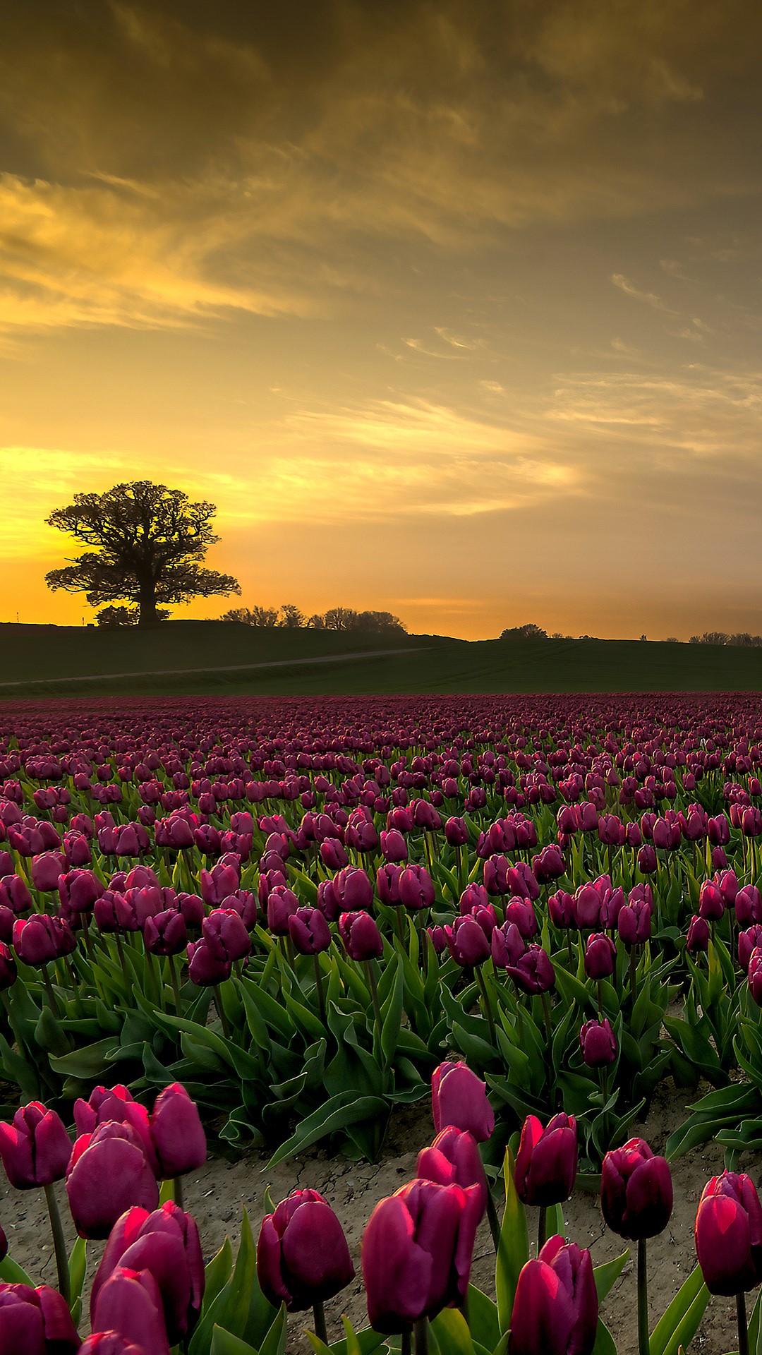 purple tulip fields in sunset  vesterborg  lolland