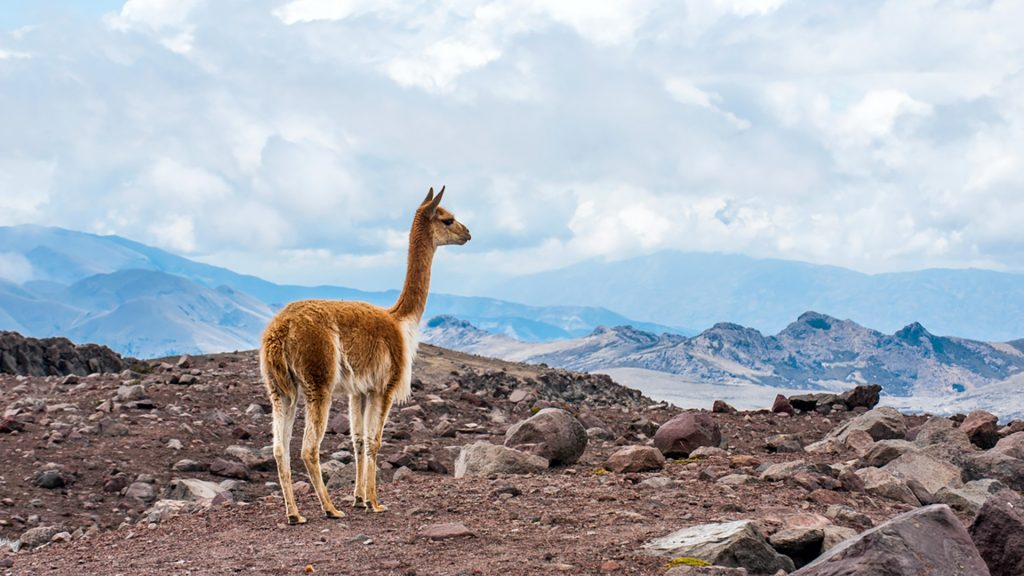 Vicuna (vicugna) in the high alpine areas of the Andes, Ecuador