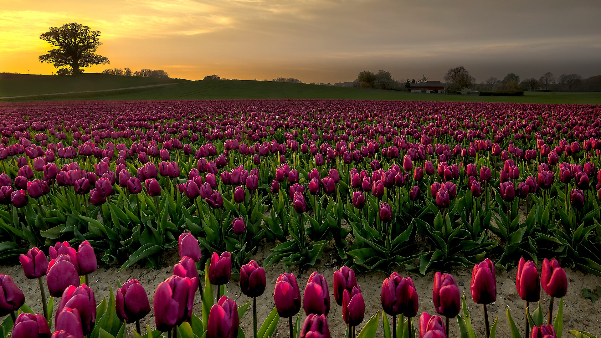 purple tulip fields in sunset vesterborg lolland