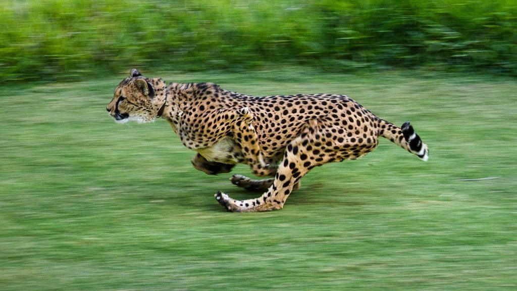 Cheetah run, San Diego Zoo Safari Park, California, USA