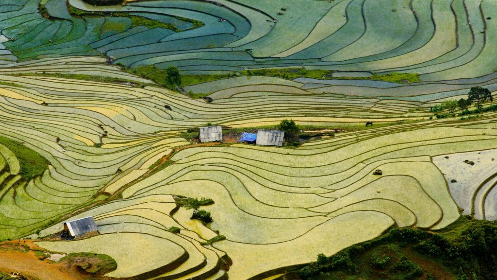 Terraced rice paddy field in Lào Cai province in Vietnam