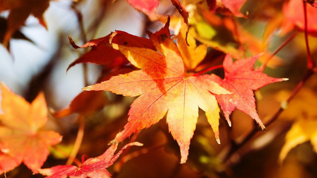 Autumn tree leaves, Netherlands