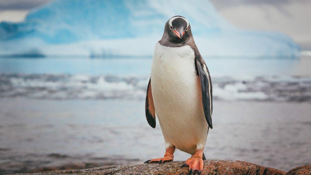 Gentoo penguin poses on rock, Neko Harbour, Antarctica