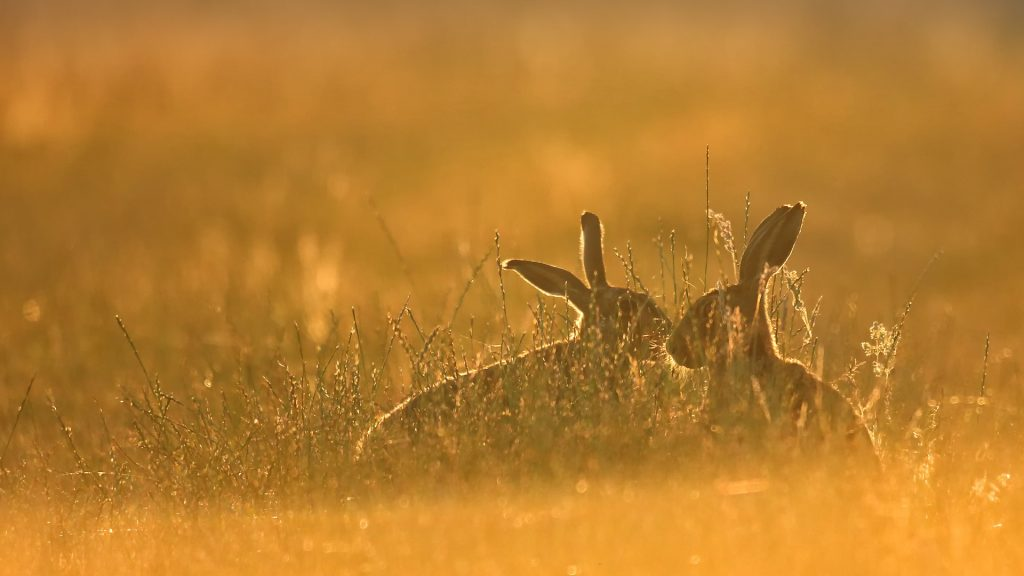 Early morning, golden light, brown hares in long grass, Chelmsford, Essex, England, UK