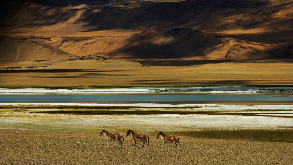 Wild Ass near Tso Kar salt lake, Rupshu Valley, India