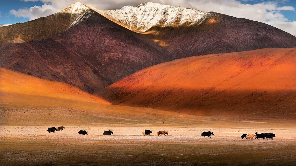 Wild yaks near Tso Moriri at Ladakh, India