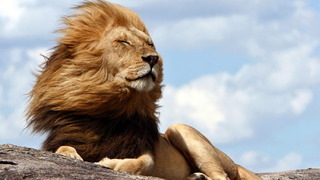 King of the Serengeti, a noble lion resting, Tanzania