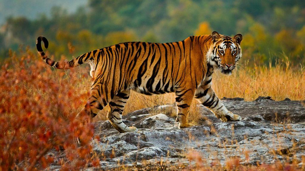 A large tiger in Bandhavgarh National Park, Umaria, Madhya Pradesh, India