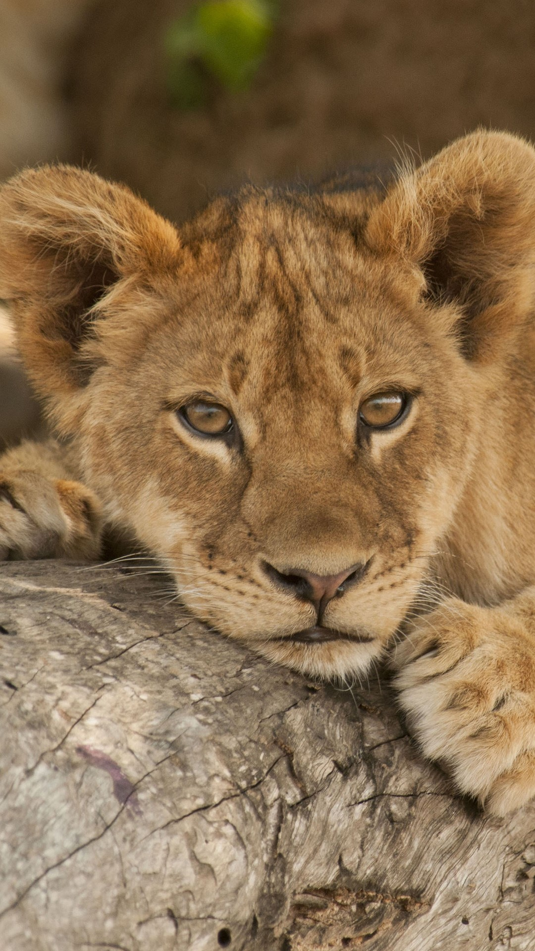 lion cub resting on tree branch south luangwa national