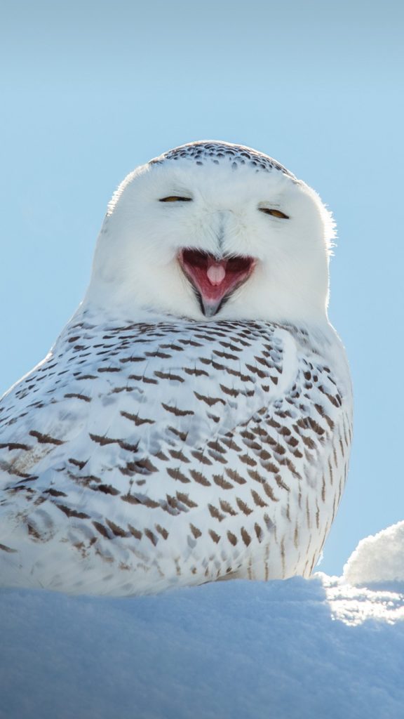 Snowy Owl Yawning Which Makes It Look Like Its Laughing