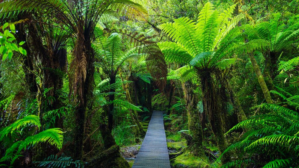 Wooden footpath in dense jungle, Westland National Park, New Zealand South Island