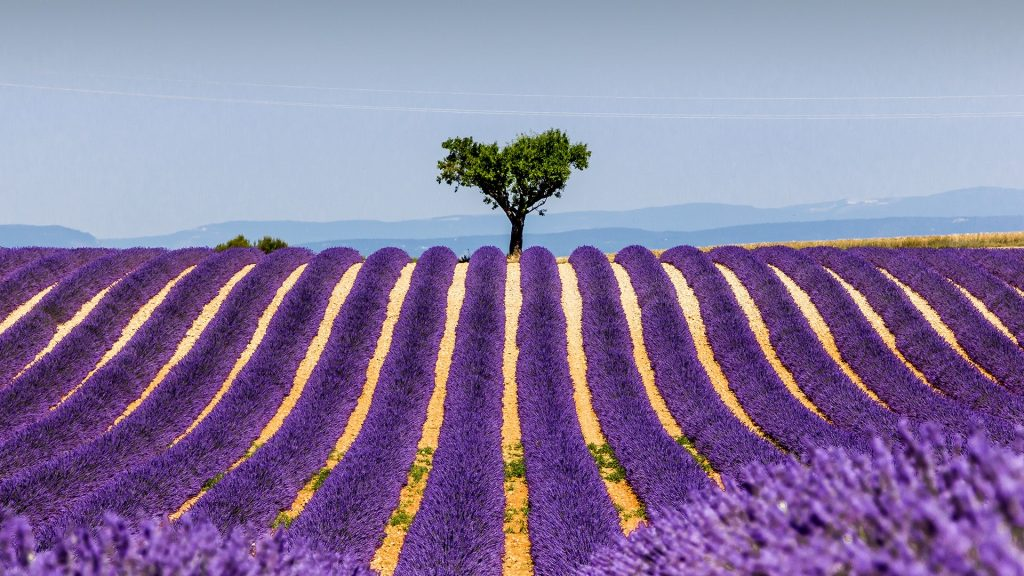 Plants growing on field against sky, Plateau de Valensole, France