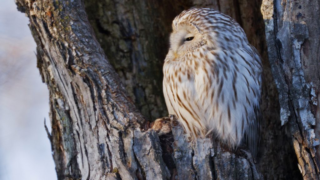 Ural owl perching in nest cavity, Hokkaido, Japan