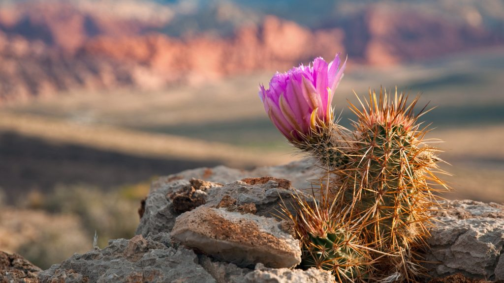 Englemann Hedgehog cactus in bloom in Red Rock Canyon, Nevada, USA