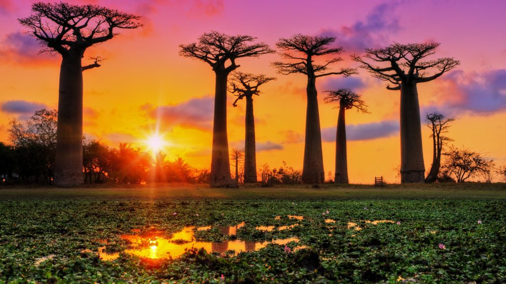 Avenue of the Baobabs trees at sunset, Menabe, Madagascar