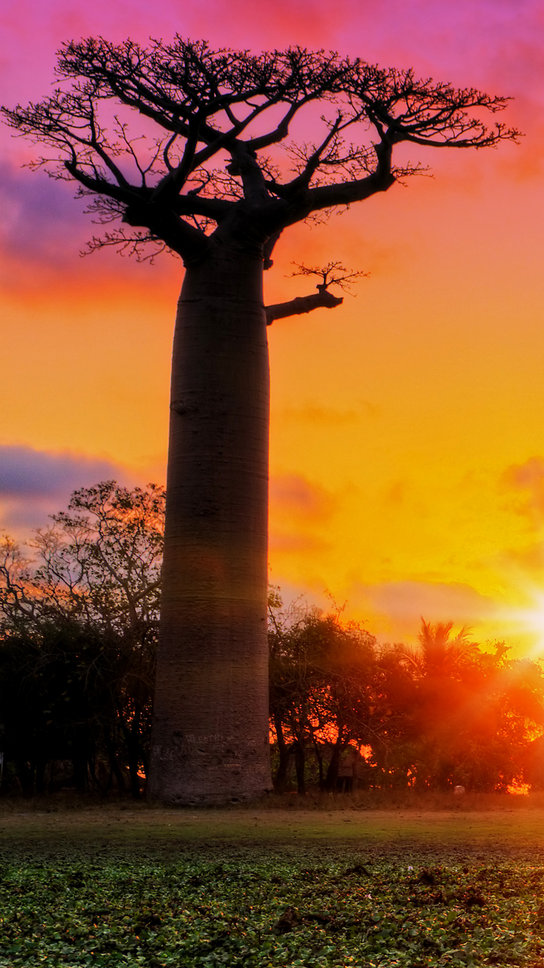 baobab trees at sunset at the avenue of the baobabs in