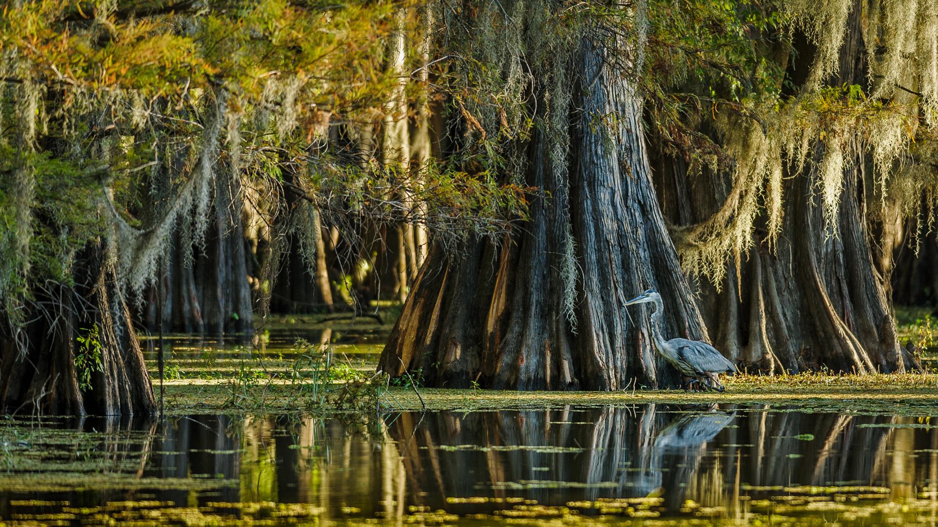 Spotlight >> Great blue heron in swamp, Caddo Lake, Texas, USA ...