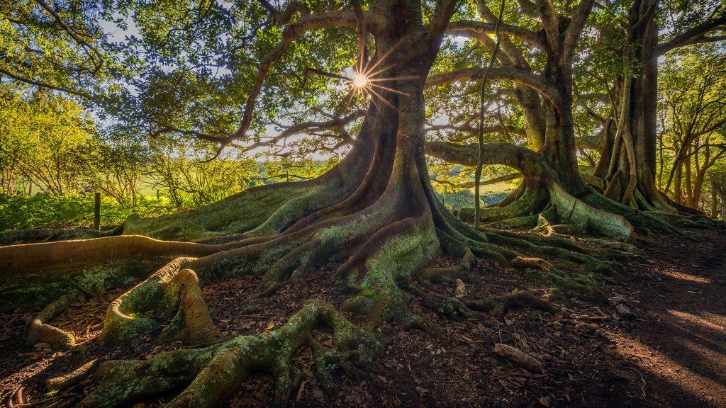 Moreton Bay fig trees on New Farm road on Norfolk Island, Australia