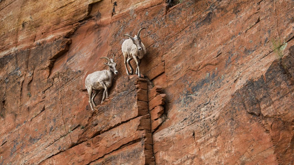 Goats standing on rock formation in Zion National Park, Utah, USA