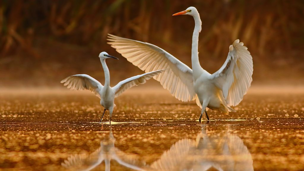 Great Egret teaching the little Egret about dance, Pakistan