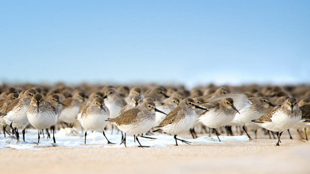 Dunlin birds escaping the water at Jones Beach, Long Island, New York, USA
